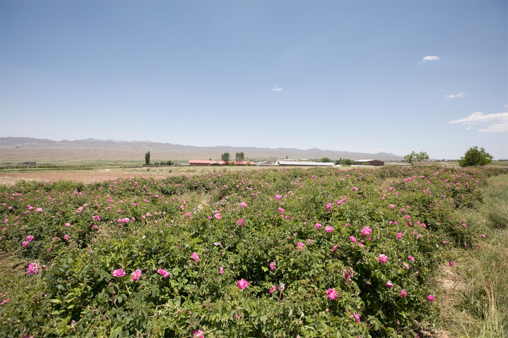 rose farms (15)