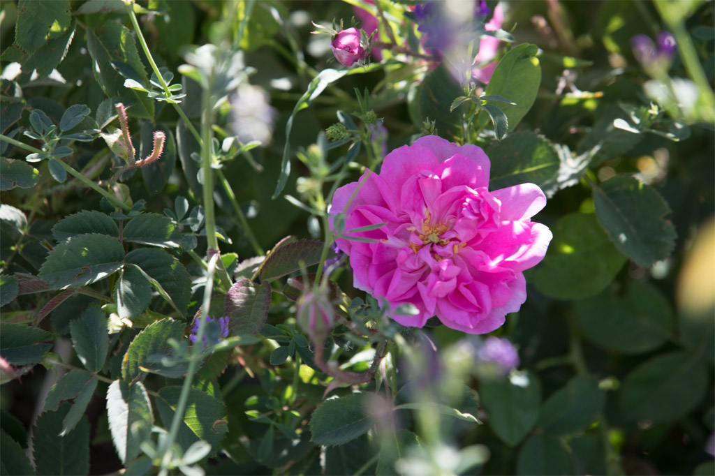 rose farms (2)