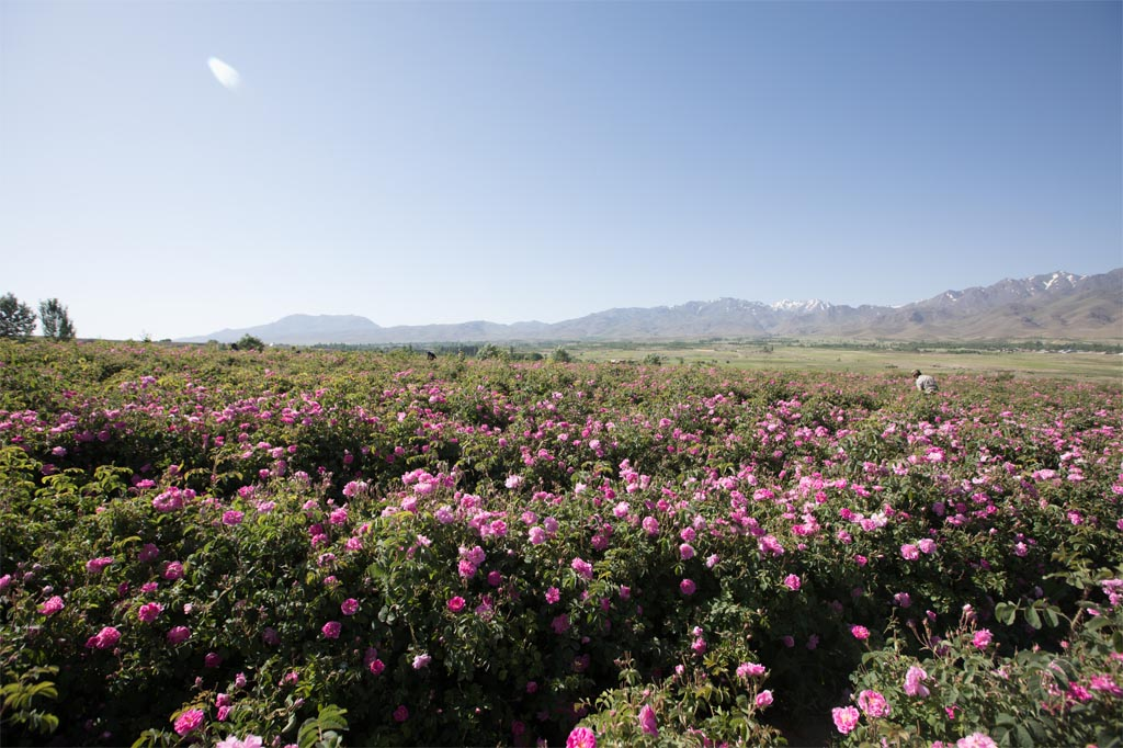 rose farms (3)