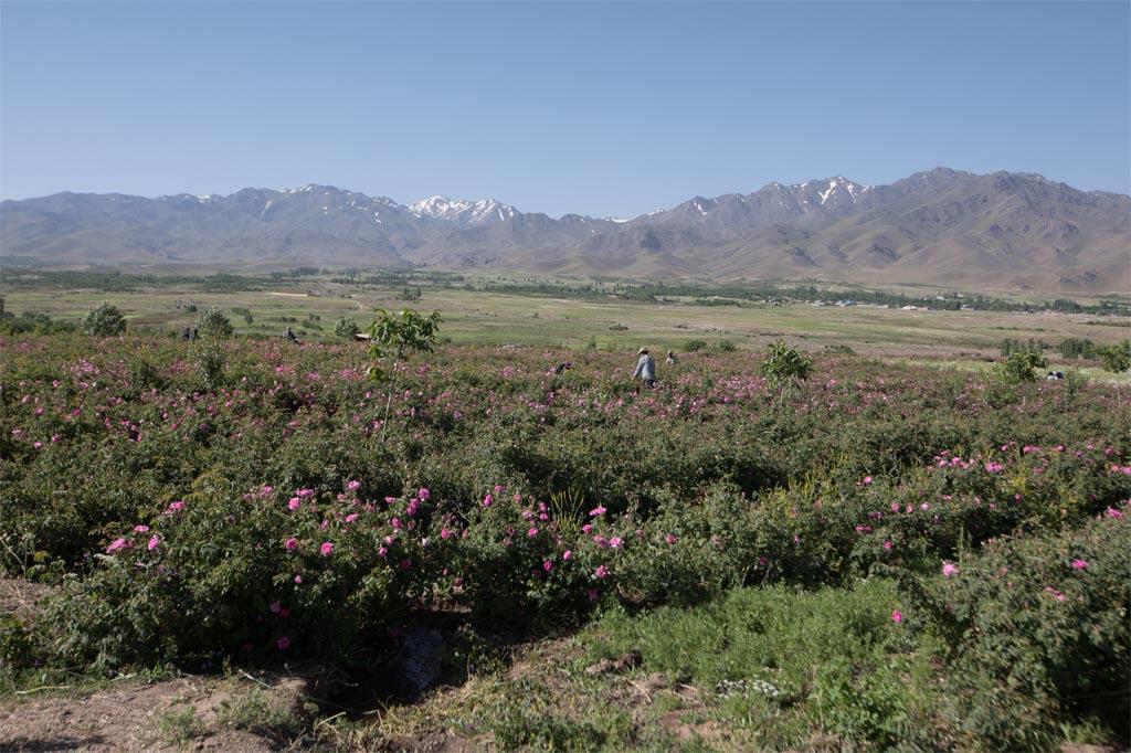 rose farms (5)