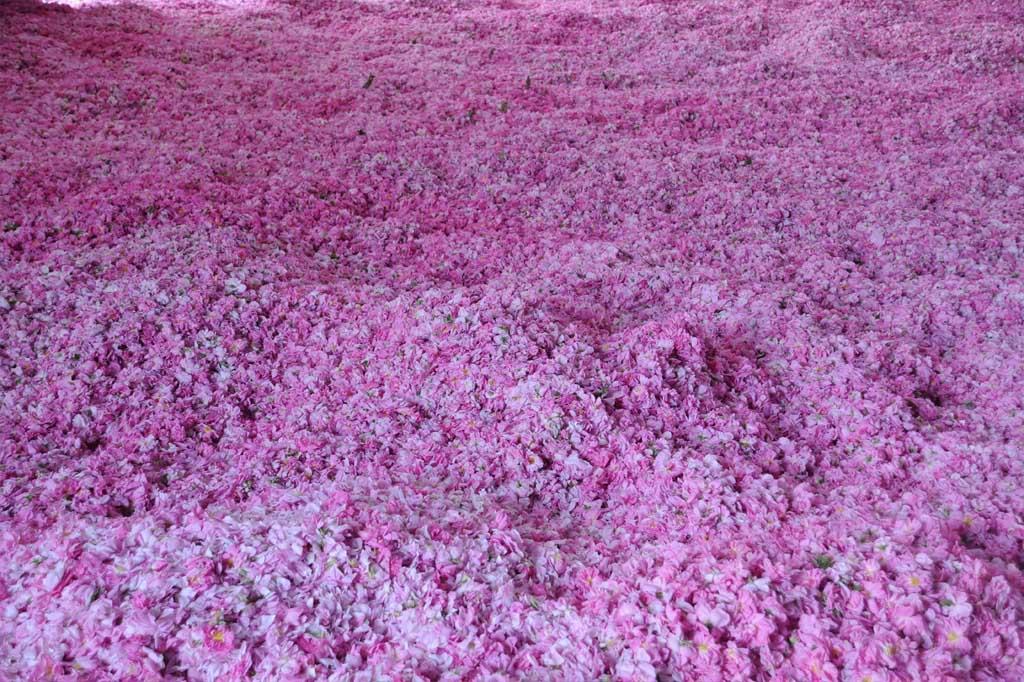 rose harvest (29)
